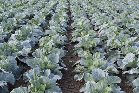 flowering kale: Cabbage field. Cultivation of cabbage in an open ground in the field. Month July, cabbage still the young.