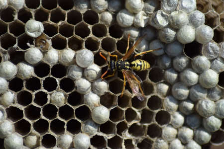 paunch: Wasps polist. The nest of a family of wasps which is taken a close-up.