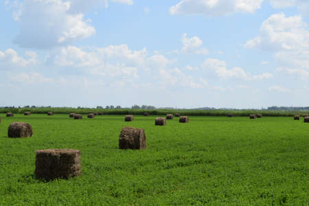 haymaking: The Haystacks in the field. Summer haymaking.