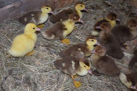 hospedaje: Patitos de un pato almizclado. Patitos de un pato almizclado en el refugio de heno en un piso y una caja para un alojamiento para pasar la noche.