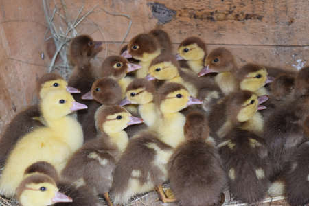lodging: Ducklings of a musky duck. Ducklings of a musky duck in the shelter with hay on a floor and a box for a lodging for the night.