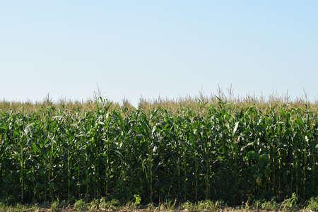 forage: Corn field. Forage crops, cultivation of corn on a silo.