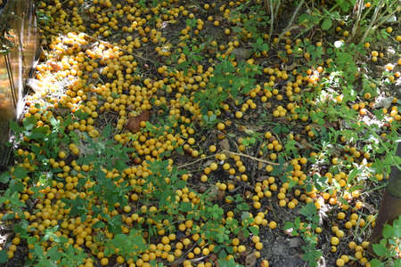 maturing: Cherry plum fruits on the earth. Maturing of fruit in a garden.