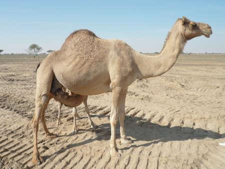 camello: Camellos en el desierto. Filmación de camellos durante un viaje a los Emiratos.