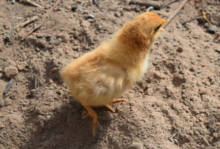 incubation: The small The chicken walks at liberty Stock Photo