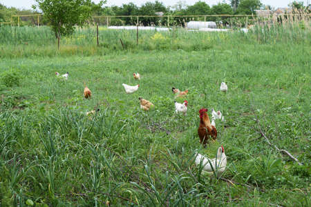 incubation: Hens in the yard of a hen house. Cultivation of poultry.