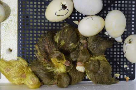 incubator: Hatching of eggs of ducklings of a musky duck in an incubator. Cultivation of poultry. Stock Photo