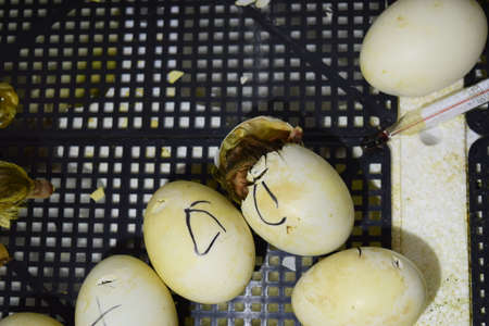 Hatching of eggs of ducklings of a musky duck in an incubator. Cultivation of poultry. Stock Photo