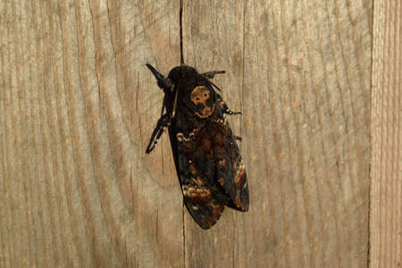 butterfly myth: Dead head. The large massive butterfly belonging to family of brazhnik. Night insect.