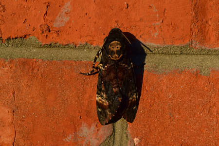 dead insect: Dead head. The large massive butterfly belonging to family of brazhnik. Night insect.