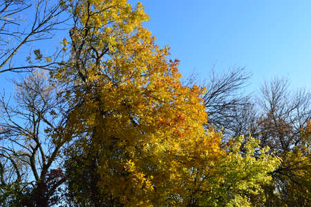excelsior: Fraxinus excelsior with the turned yellow leaves. Autumn landscape.