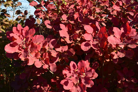 veining: Autumn red color of leaves of cotinus coggygria. Paints of fall. Stock Photo