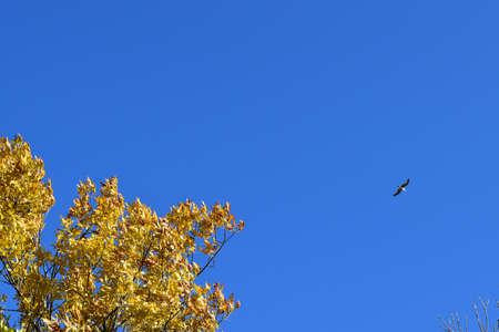 excelsior: Fraxinus excelsior and tea against the blue sky. Autumn landscape.