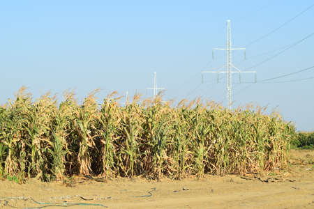 forage: The corn field. Forage crops, cultivation of corn on a silo. Stock Photo