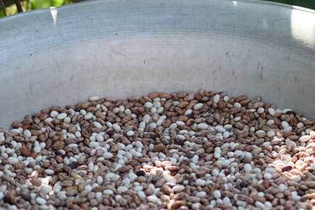 haricot: Haricot seeds in an allyuminevy basin. Crop of bean cultures. Stock Photo
