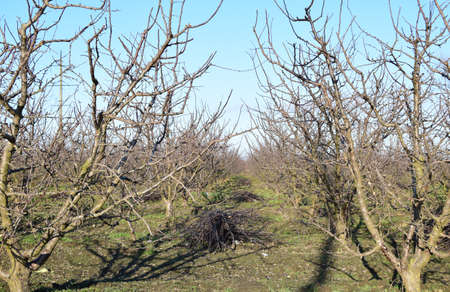 albero da frutto: Winter young orchard. A garden from plum after a leaf fall in snowless winter.