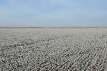 winter wheat: Field of winter wheat. Hoarfrost on foliage of sprouts of wheat.