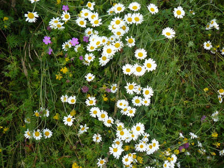 l natural: The Camomile flowers. Blossoming of angiospermous plants. Stock Photo
