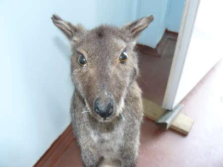 locomotion: Kangaroo in the human dwelling. Animal look.