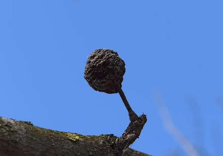 putrefy: Dried rotten apple. Plant diseases in the garden.