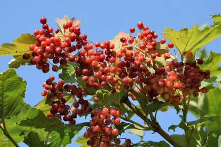 guelder rose berry: Ripen bunches of Viburnum berries on the branch. The branch of viburnum against the sky.