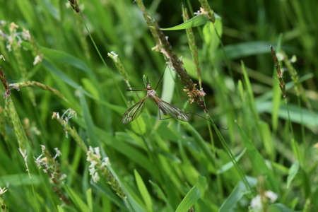 tipulidae: Tipul fuscipennis on stalks of grass. Unusual large insect.
