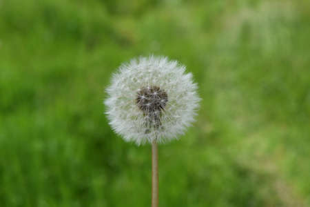 Ripened Dandelion in the grass. Breeding seeds of plants.