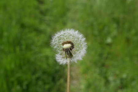 fade away: Ripened Dandelion in the grass. Breeding seeds of plants.