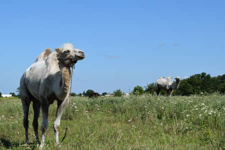 mountain peek: Camel on a pasture. Animals on private farm.