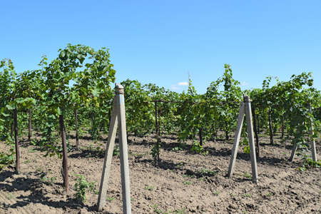 kuban: The grape gardens. Cultivation of wine grapes at the Sea of Azov.