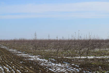 age related: Young apple orchard. Growing and Caring for orchard of apple trees.