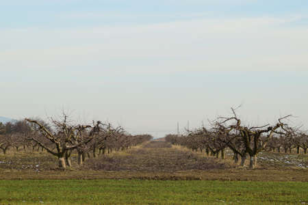 age related: Cropped trees in the apple orchard. Care orchard, pruning trees. Stock Photo