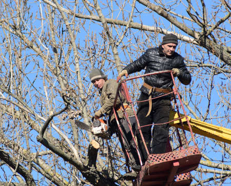 communal: Pruning trees using a lift-arm. Chainsaw Cutting unnecessary branches of the tree. Putting in order of parks and gardens. Stock Photo
