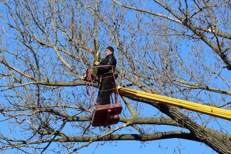 putting in: Pruning trees using a lift-arm. Chainsaw Cutting unnecessary branches of the tree. Putting in order of parks and gardens. Stock Photo
