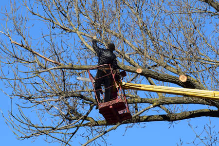 unnecessary: Pruning trees using a lift-arm. Chainsaw Cutting unnecessary branches of the tree. Putting in order of parks and gardens. Stock Photo