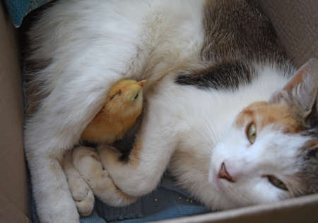 warms: Cat warms chicken. Cat takes a chicken for her cub.
