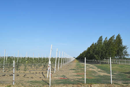 trellis: Young apple orchard. Young planting apple orchard on the trellis, enclosed by a fence of mesh netting.