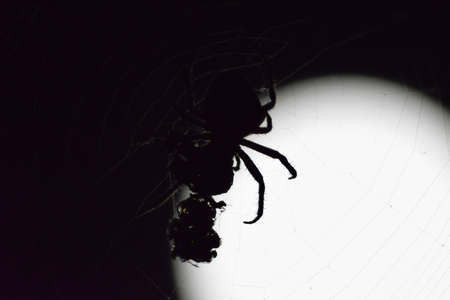 arachnida: Araneus Spider on the background of the moon. Night spider on its web. Stock Photo