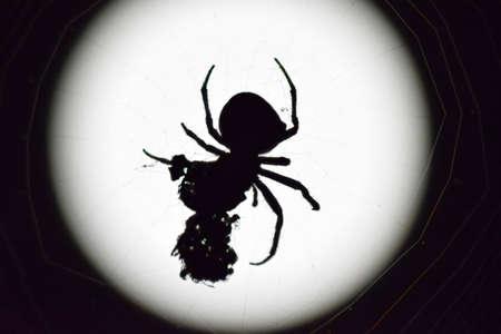 arachnidae: Araneus Spider on the background of the moon. Night spider on its web. Stock Photo