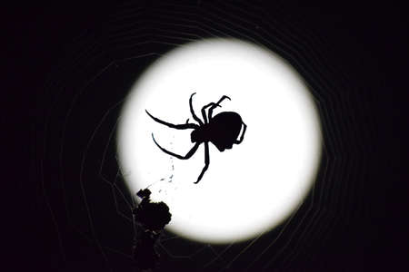 eight legged: Araneus Spider on the background of the moon. Night spider on its web. Stock Photo