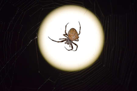 spider web: Araneus Spider on the background of the moon. Night spider on its web. Stock Photo