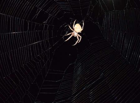 eight legged: Araneus Spider hunts at night. Night spider on its web.