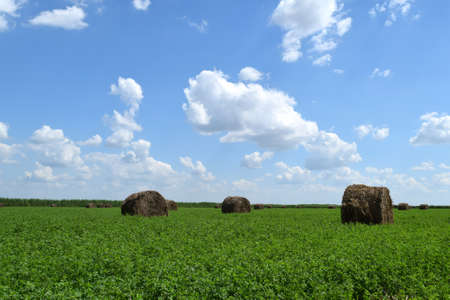 Haystacks rolled up in bales of alfalfa. Forage for livestock in winter.
