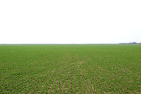winter wheat: Spring winter wheat field. Shoots of wheat in a field on the ground. Cultivation of cereals. Stock Photo