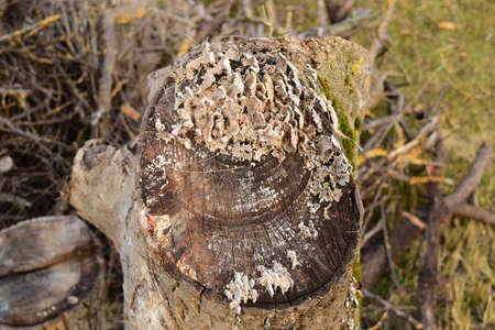 tree stump: Plate mushrooms on a tree stump. Mushrooms feed on decaying wood.