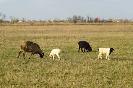 small butt: Sheep in the pasture. Grazing sheep herd in the spring field near the village. Sheep of different breeds. Stock Photo