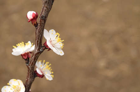 pollination: Blooming wild apricot in the garden. Spring flowering trees. Pollination of flowers of apricot.