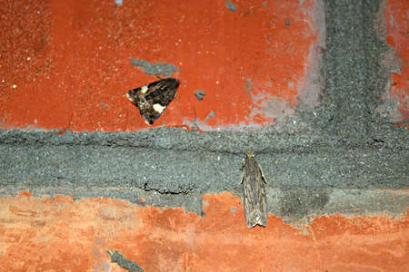 lepidopteran: Owl sitting on a brick wall. Night butterfly brown with white spots on the wings.