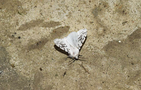 lepidopteran: Male American white butterfly. Butterfly on a concrete floor. Stock Photo