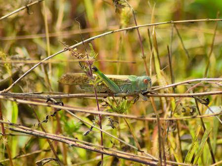 langosta: langosta migratoria se sienta en la ambrosía. Ortópteros de insectos, plagas campos. Foto de archivo